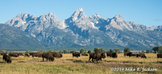 Bison Herd and Tetons