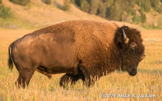 Bull Bison Profile