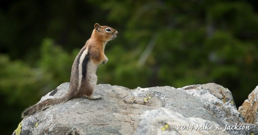 Cascade Canyon Chipmonk