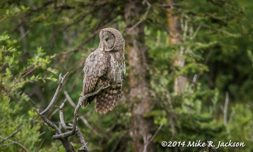Great Gray Owl on a Branch