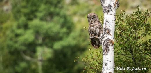 Great Gray Owl in an Aspen