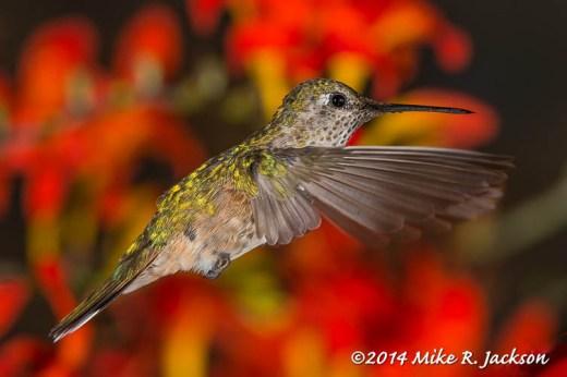 Hummingbird in Red