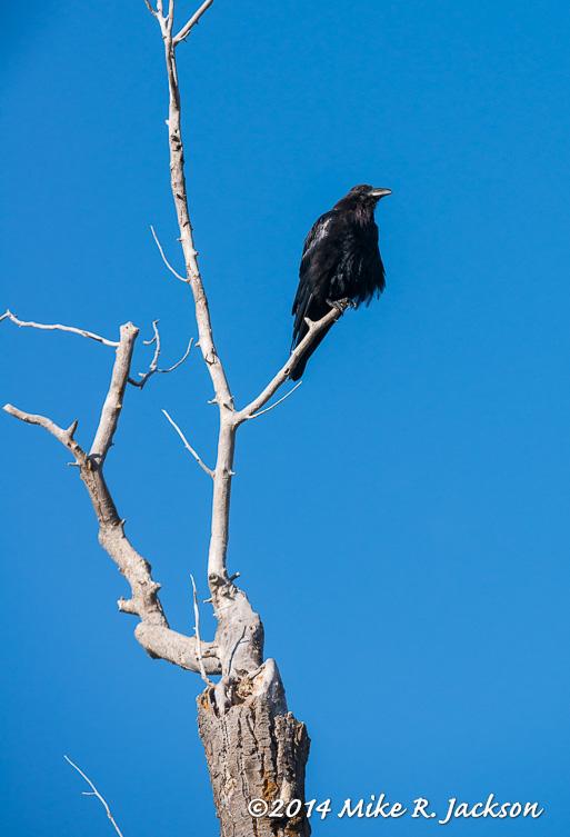 Sunning Raven