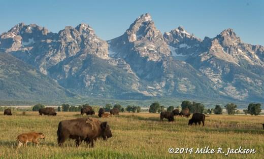 Bison and the Teton Range