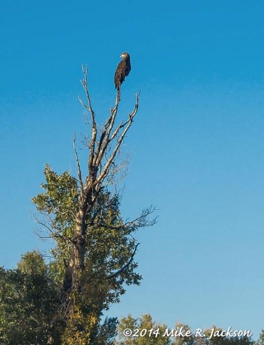 Eagle Along the Gros Ventre