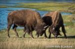 Bison Sparring: