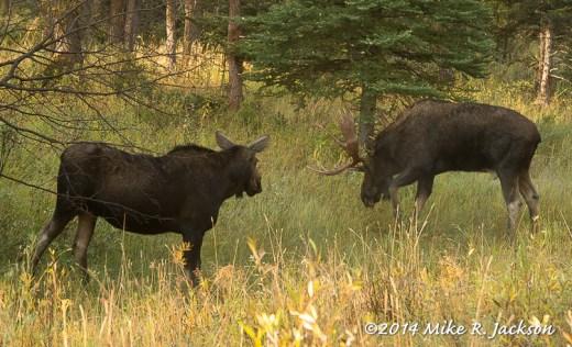Moose Courtship 1