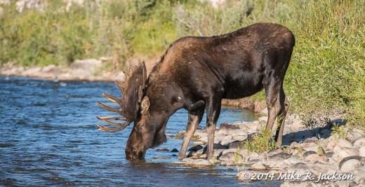 Bull Moose Drinking
