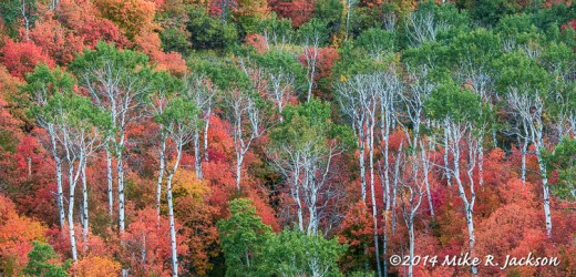 Aspens and Mountain Maple