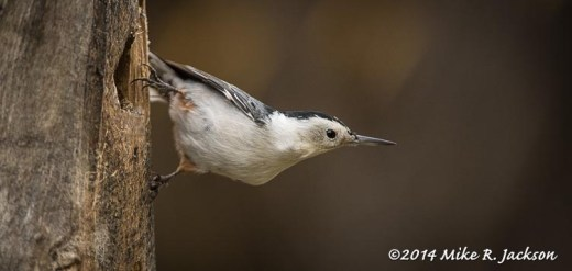 Web_Nuthatch_Oct24