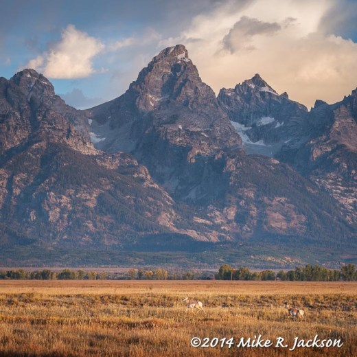 Pronghorns with Tetons