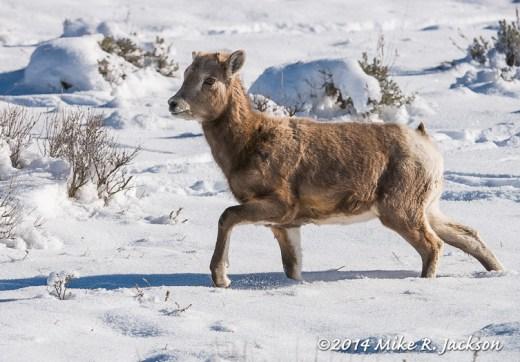 Bighorn Lamb at Miller Butte