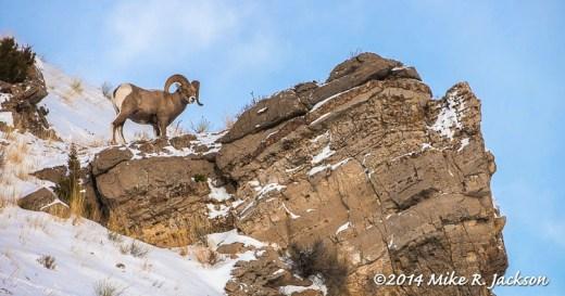 Bighorn Ram on Rocks