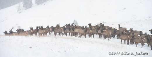 Elk on Parade