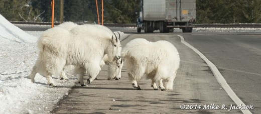Goats on Blind Curve