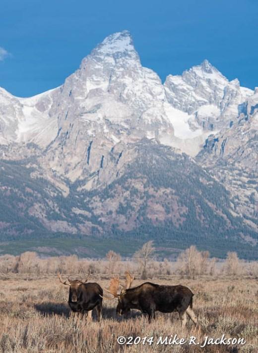 Bull Moose and Grand