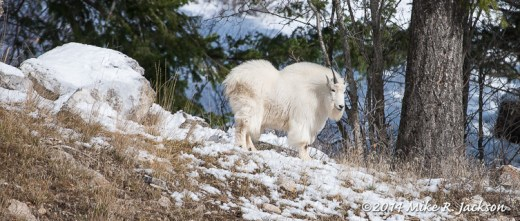 Mtn. Goat in Snake River Canyon