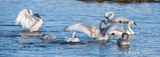 Swan Dual Stretch