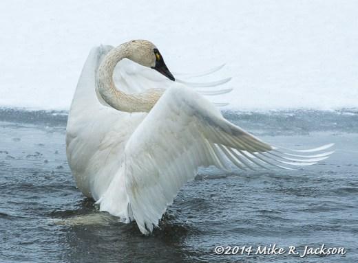 Tundra Swan Adult