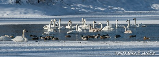 Swans at Boyle's Hill