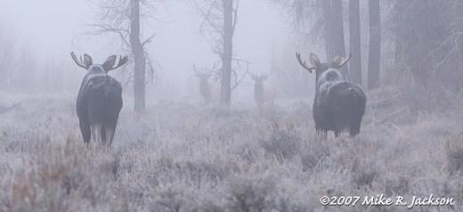 Moose and Elk
