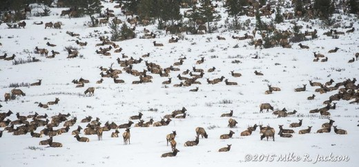 Elk on Crystal Butte