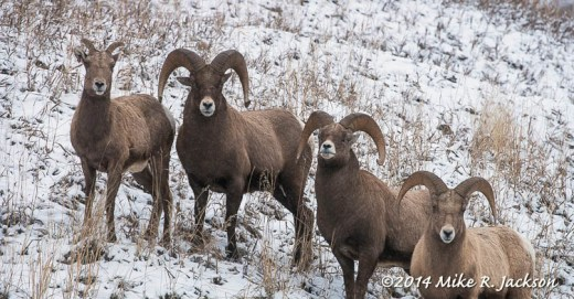 Camp Creek Bighorns