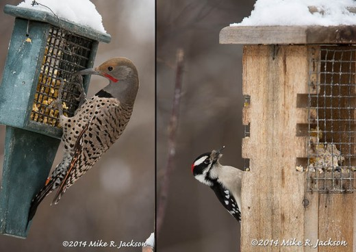 Flicker and Downey Woodpecker
