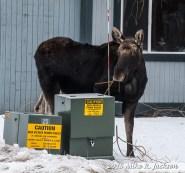In-Town Moose