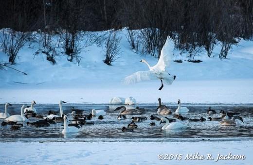 Landing Swan