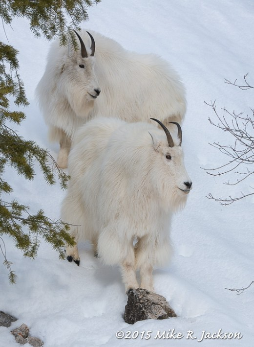 Stacked Goats
