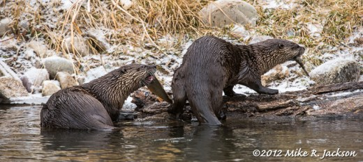 River Otters with Catch
