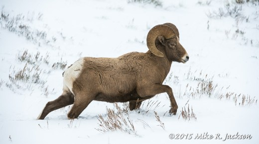 Bighorn Ram Walking Across the Snow