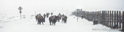 Stalled Bison