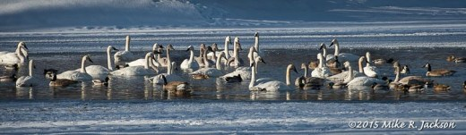 Grouped Swans