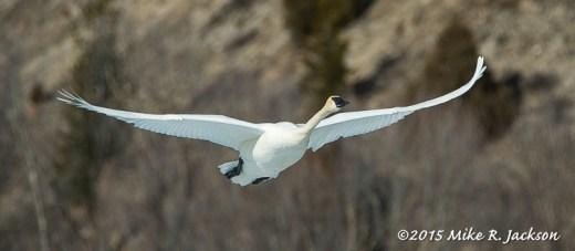 Swan against Cottonwoods