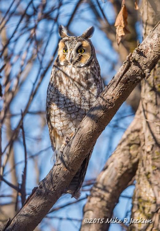 Long-eared Owl on a Diagonal Branch