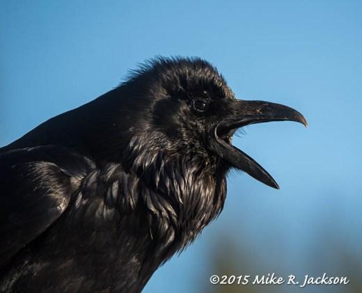 Raven Calling