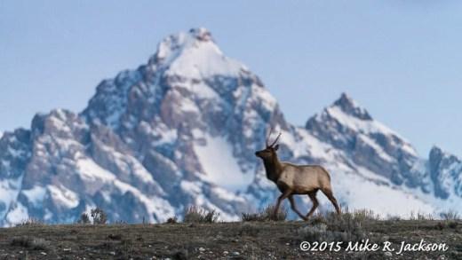 Ridge Line Elk