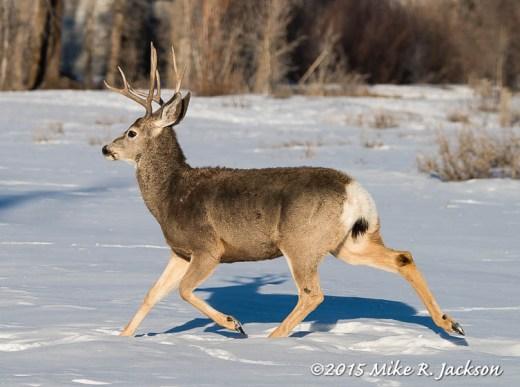 Running Mule Deer