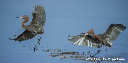 Reddish Herons