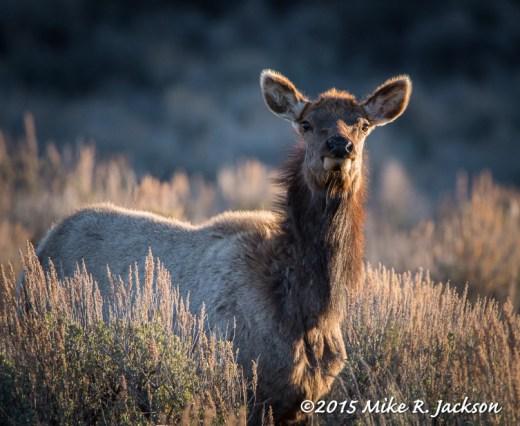 Alert Cow Elk