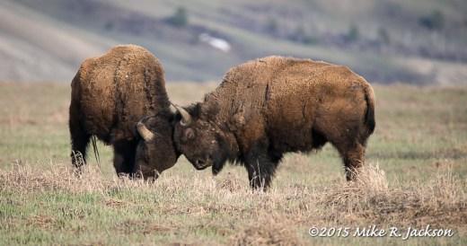 Bison Bulls