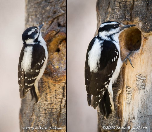 Downey and Hairy Woodpeckert