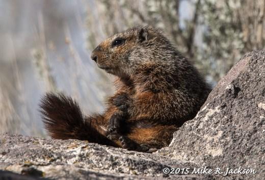 Marmot Relaxing