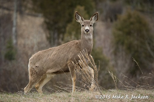 Mule Deer Doe without clear filter