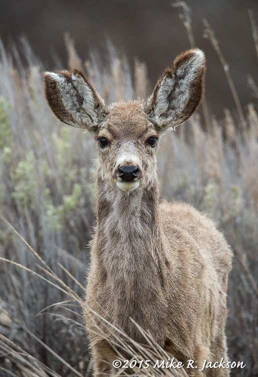 Yearling Mule Deer