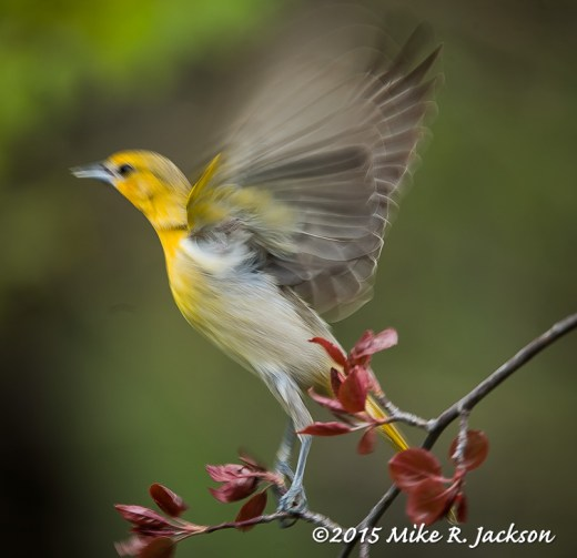 Oriole in Motion