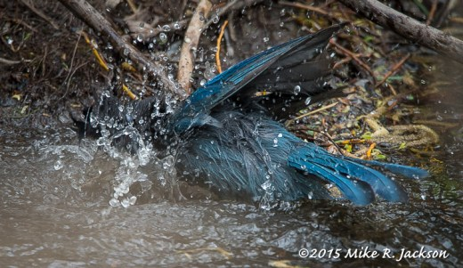 Stellar's Jay Bathing