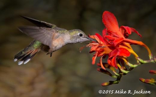 Broad-tailed Female Hummingbird